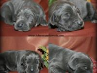 AKC 1/2 European Blue Great Dane puppies, birthed