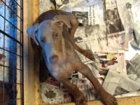 I have a 12 week old fawn female Doberman puppy looking