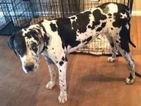 Otis is a 1 year old AKC male great dane. He is up to