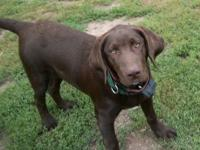AKC Eagle Chocolate Labrador Retriever. Eagle is still