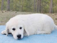 AKC 100% English Cream Golden Retriever female puppy,