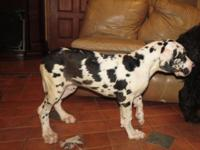 ONLY 1 Harlequin & & 1 Black Puppy left!!! Sired by