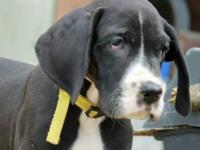 AKC 100% European Great Dane puppies born February