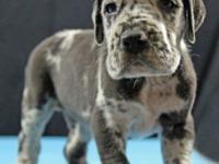 AKC 100% European Harlequin, Black & Merle babies born