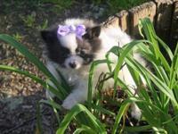 2 AKC female Pomeranians born Jan. 25, 2015. One is a