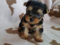 2 beautiful male yorkies will be ready 18th of Nov mom
