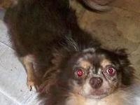 Rio is a lovable 2 years of age 4 lb AKC long coat,