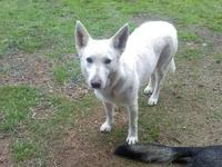 Very sweet and loyal AKC (full) WHITE German Shepherd.