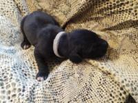 Black with white markings female AKC registered and 25
