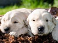 AKC English Cream Golden Retriever Puppies with