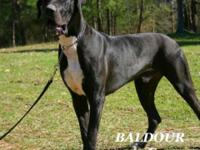 AKC 3/4 European von Schlesien line Great Dane male