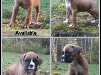 Hi,. We have 4 male boxer puppies left. They come from