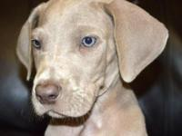 AKC 37.5% Euro Chocolate Great Danes Pups available! 6