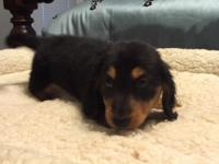 AKC Black & Tan Long Hair Male born April 12th, 2015.