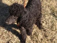 We have a 5 month old basic poodle searching for his
