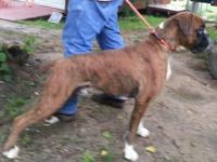 I have a new litter of AKC Boxer pups 50% European from