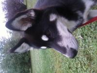 AKC Siberian Husky male, 6 months old will be 7 months
