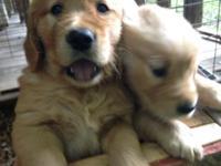 Adorable 7 week olf Golden Retriver puppies for