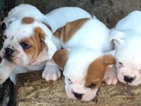 PUREBREED AKC ENGLISH BULL DOG PUPPIES, 8 WEEKS. RARE