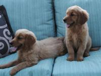Two ABSOLUTELY BEAUTIFUL FULL AKC Golden Retriever