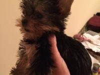 AKC yorkie male. He is one small child !! Charting to