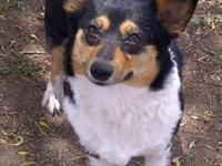 Abby is a beautiful black headed tri Corgi female. She