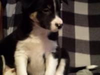 High quality ABCA and AKC Border Collie puppies.