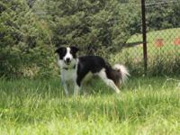 Eriphos Farm Border Collies has one black and white