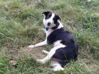 Reggie is a black and white neutered male border collie