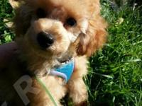 SunKisses is a super lovable AKC Toy Poodle Puppy with