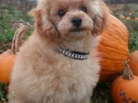 SunLite is a Beautiful Small AKC Apricot Male Toy