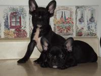 Joey is a beautiful shiny black male French bulldog