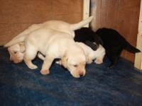 AKC Labrador puppies (Only 4 PUPPIES LEFT!) My AKC