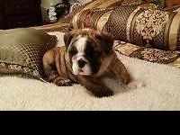 AKC English bulldog puppies, These puppies are champion