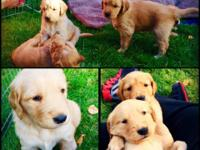 Beautiful Golden Retriever puppies for sale. Great