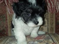 Louella Sweet Havanese black and white puppy. It is 9