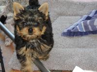Absolutely adorable 9 week old Yorkie babies! The