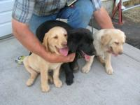 Cute pure breed Labrador Retreiver puppies all up to