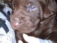 AKC CHOC and.BLACK LAB PUPS Ready to go De.16 *Will