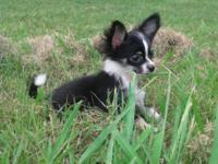 Adorable Long Hair Chihuahua Male Akc 13 weeks Small up