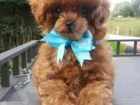 Absolutely Beautiful Tiny Red Toy Poodle Male Puppy