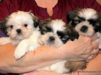 AKC registerable Quality Shih Tzu puppies, two females