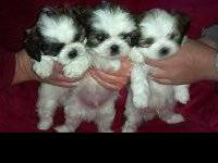 I have 4 AKC Shih Tzu boys. They're ready to go this