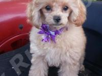 SunLite is a Beautiful Small Male AKC Toy Poodle Puppy
