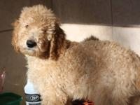"""George"" is a reddish/apricot male standard poodle. He"
