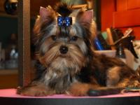 AKC adorable Yorkshire Terrier male, 3 years, 4 lbs.,