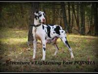 AKC Harlequin Female, born 2-14-2010, available for