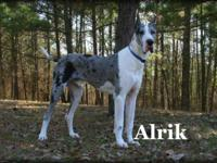 AKC Adult male intact European Excalibur line Mantle