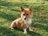 AKC Pembroke Welsh Corgi Female, $400 EA, Red & White