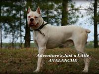 AKC White 3 year old intact male Boxer available for